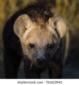 Spotted hyena puppy with cute face in early morning light
