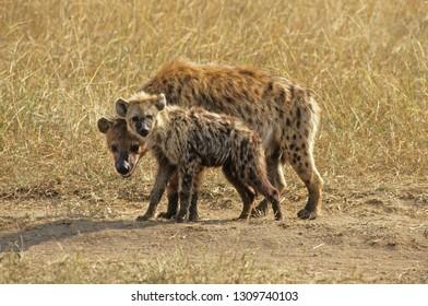 spotted hyena in savanna