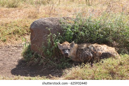 Spotted hyena seeking shadow