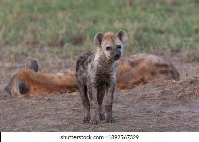 Spotted Hyena in the Serengeti National Park