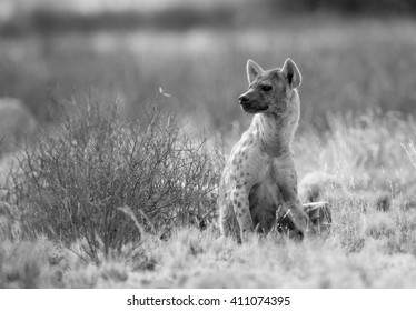 A Spotted Hyena sitting by a bush in the wild and looking back over his shoulder at where the rest of his clan members are. In black and white, monochrome.