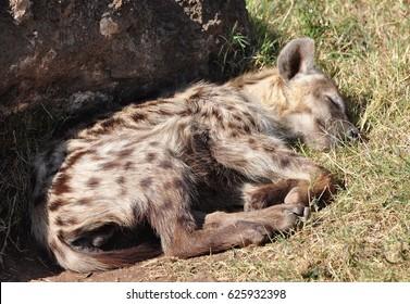 Spotted hyena sleeping