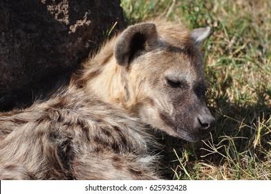 Spotted hyena sleepy face