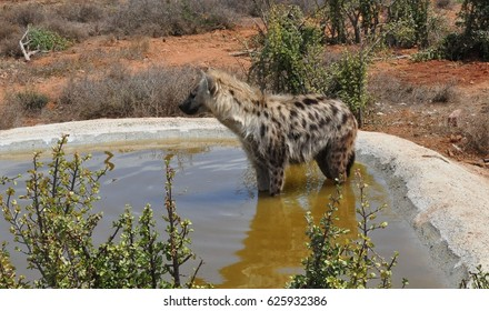 Spotted hyena in small pool