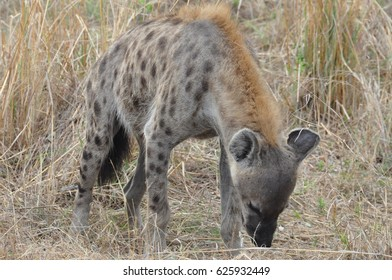 Spotted hyena smelling the ground