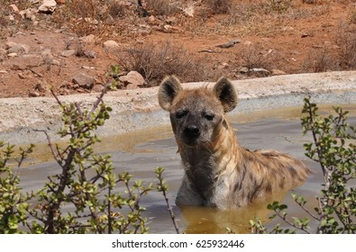 Spotted hyena taking a bath