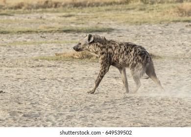 Spotted hyena walking on dried savannah in dry season