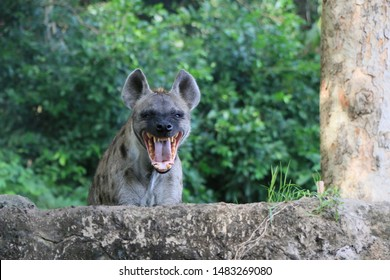 spotted hyenas appearance like a dog. It has coarse brown hair and black spots.