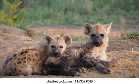 Spotted Hyenas Cubs in South Africa