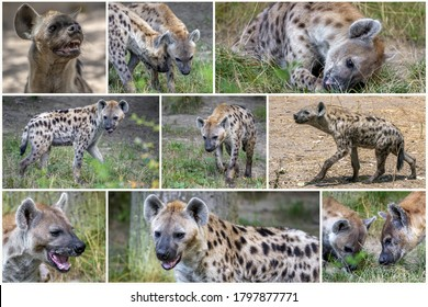 Spotted Hyenas in nature,close up.. Carnivore, creature.Collage set.