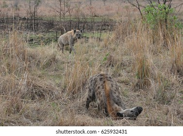Spotted hyenas rolling in pee