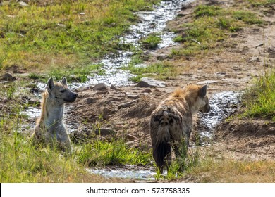 Spotted Hyenas at a small creek in the savanna