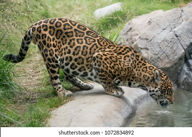 Spotted Jaguar drinking from a pool of water