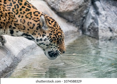 Spotted Jaguar drinking water out of a pond