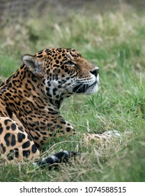 Spotted Jaguar in the grass