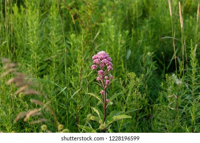 A Spotted Joe-Pye Weed, otherwise known as Eutrochium Maculatum, in a field of other flora and greenery.