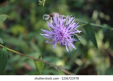 Spotted Knapweed Flowers
