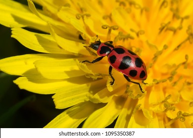 Spotted Lady Beetle resting in a dandelion. Also known as a Twelve-spotted or Pink Spotted Lady Beetle. Rosetta McClain Gardens, Toronto, Ontario, Canada.