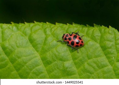 Spotted Lady Beetle resting on a green leaf. Also known as a Pink Spotted and Twelve-spotted Lady Beetle. Taylor Creek Park, Toronto, Ontario, Canada.