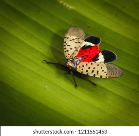 Spotted lanternfly or  lantern fly , Lycorma delicatula  is a planthopper and infesting