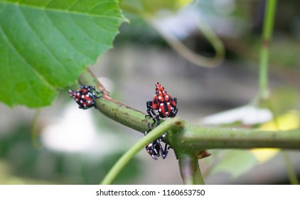 Spotted lanternfly nymph sits on grape vine, Berks County, Pennslvania.