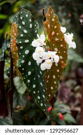 Spotted leaves and beautiful white flowers of Begonia boliviensis Bonfire