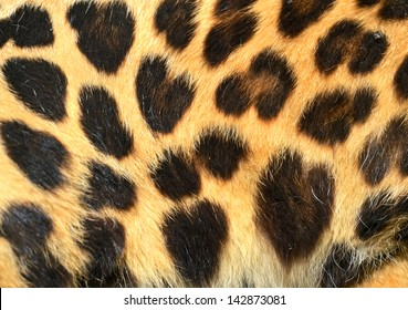 The spotted leopard skin in summer