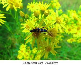 Spotted Longhorn beetle, Rutpela maculata,