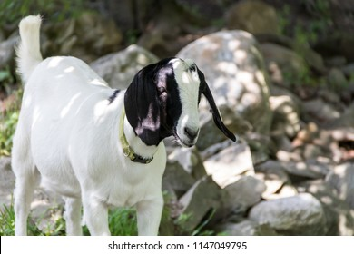 Spotted lop-earred goats, Boer Goats, are a popular breed for meat due to a selective breeding process