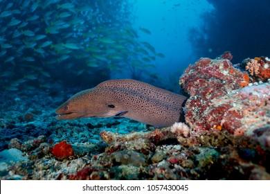Spotted moray eel, Gymnothorax moringa, hunting along coral reef