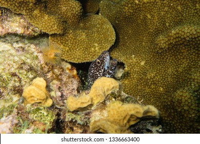 Spotted moray eel peeking out of a cave on the coral reef of tropical Bonaire Island
