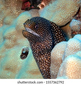 Spotted moray eel stares out from between white coral