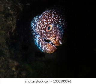 spotted moray,Gymnothorax isingteena is a moray eel found in coral reefs