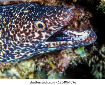 spotted moray,Gymnothorax moringa is a medium to large moray eel. Other common names include conger eel