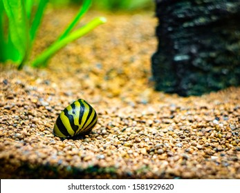 spotted nerite snail (Neritina natalensis) eating on a rock in a fish tank