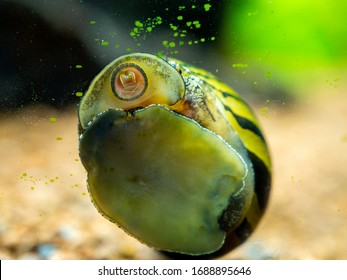 spotted nerite snail (Neritina natalensis) eating algae from the fish tank glass