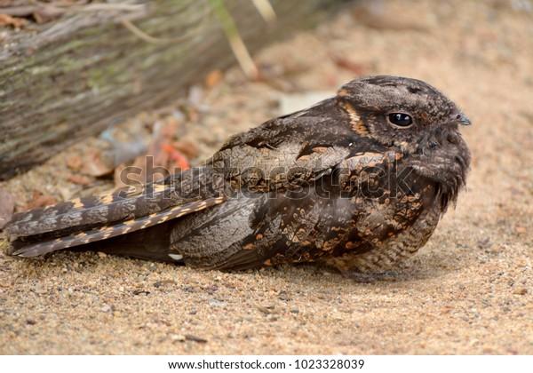 Spotted nightjar (Eurostopodus argus) bird inhabits much of mainland Australia.