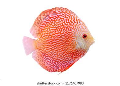 Spotted orange red discus fish isolated on white background. Beautiful freshwater aquarium fish