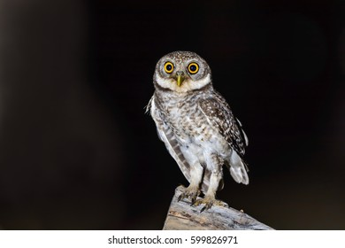 Spotted Owlet or Athene brama, beautiful bird perching on branch in Thailand.