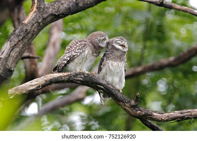 Spotted owlet Athene brama Cute Birds of Thailand