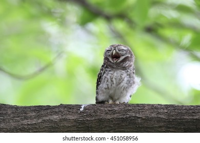 Spotted Owlet (Athene Brama) in green tree
