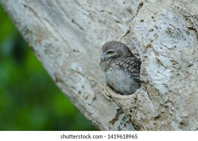 Spotted owlet (Athene brama) in the nature, Thailand