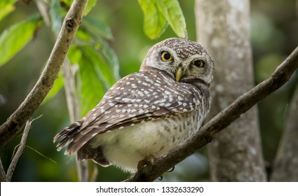 Spotted owlet ( Athene brama) on branch tree.