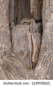 Spotted Owlet (Athene brama) - One Eye