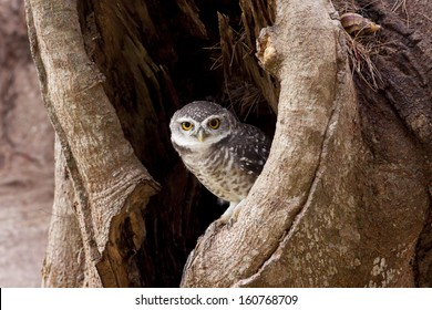 Spotted Owlet (Athene brama), standing on a branch