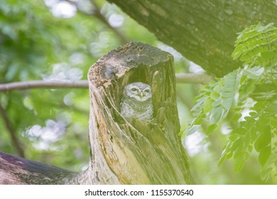 Spotted owlet (Athene brama) in tree hollow. / Spotted owlet in the hollow of tree, park of Thailand. / Spotted Owlet in the garden.