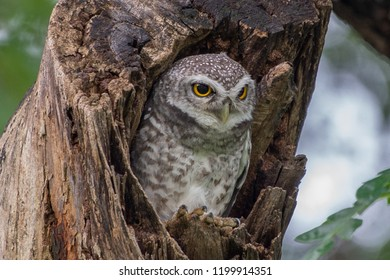 Spotted Owlet (Athene Brama) in tree hollow live in SuanRodFai Park Thailand, Owl is very small living in a tree hollow with family is peaking through the wrecked branch Spot Owl has bright yellow eye