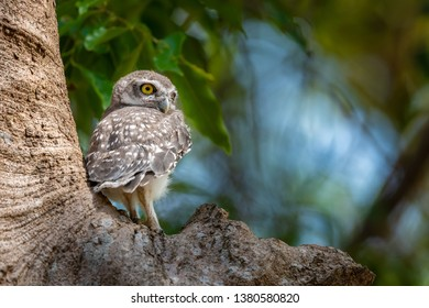 Spotted Owlet chick perching on tree looking into distance with blur background