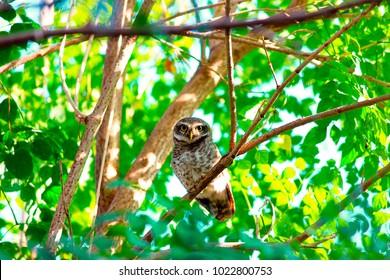 Spotted Owlet, Kanha Tiger Reserve, Madhya Pradesh