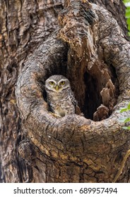 Spotted Owlet On A Tree Hole In Temple Of Thailand.